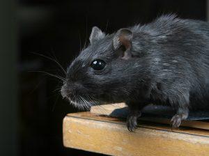 Pest: rat, rodent